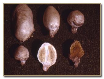 Endoptychum agaricoides