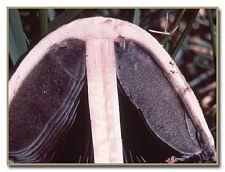 mottled gills