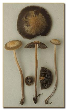 P subalteatus