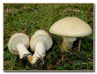 Urban Mushrooms: By Habitat: Grass