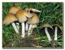 Coprinus micaceus