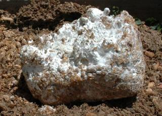 mycelium