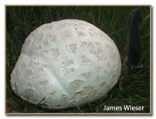 Calvatia booniana