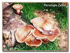 Polyporus squamosus